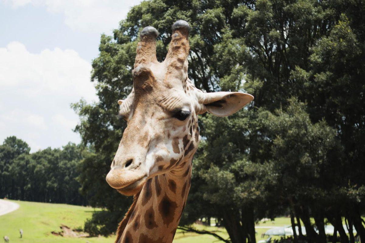 animales, planeta, jirafa