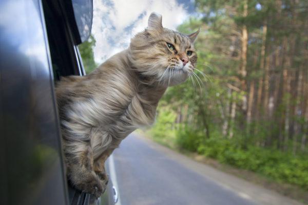 gato, mascotas, animales